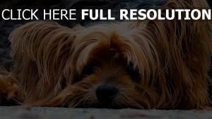 hund pelz nase schnauze liegen traurig