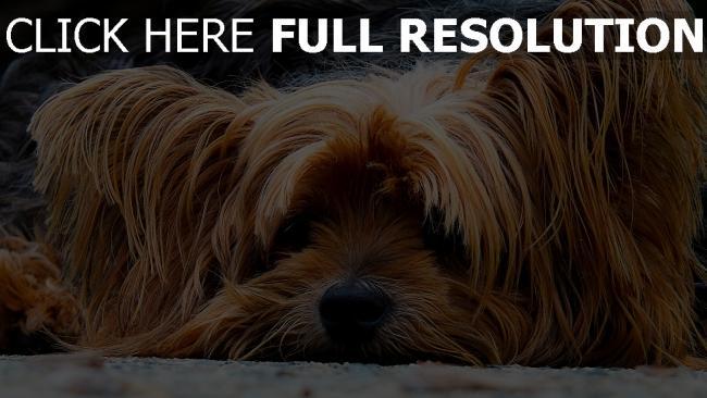 hd hintergrundbilder hund pelz nase schnauze liegen traurig