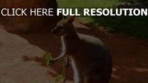 känguru lebensmittel ernährung sitzend schatten