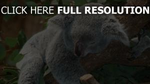traum baum koala liegen ruhe