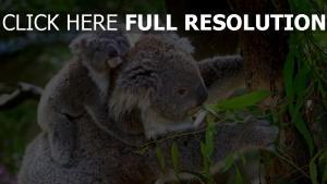 koala mamma baby baum blätter