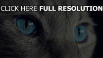 katze fell augen blau blick