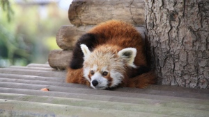 roter panda tier ruhen fell holz