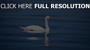schwan vogel wasser schwimmen