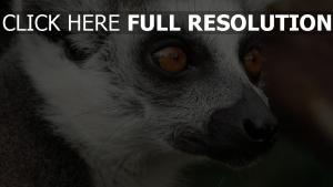 schnauze augen schnurrbart lemur