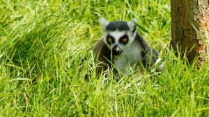 lemur gras holz felle