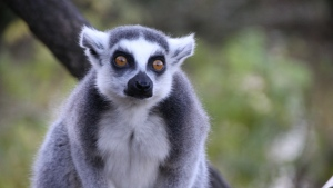 lemur augen blick überraschung