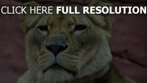 löwe schnauze frieden blick