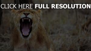 knurren zähne löwin aggression