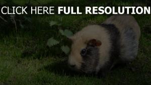 nagetier meerschweinchen gras fell farbe