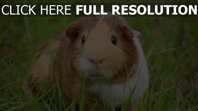 hd hintergrundbilder meerschweinchen nagetier schnauze augen gras