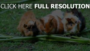 nagetiere gras meerschweinchen getupft