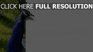 pfau federn blau farbe