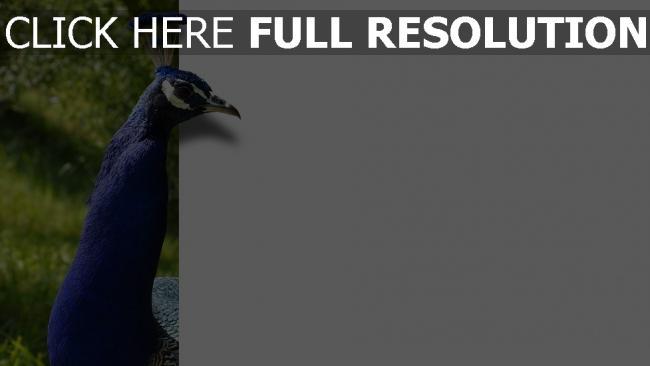 hd hintergrundbilder pfau federn blau farbe