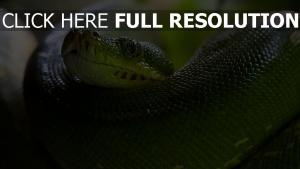 schlange python groß schuppen augen