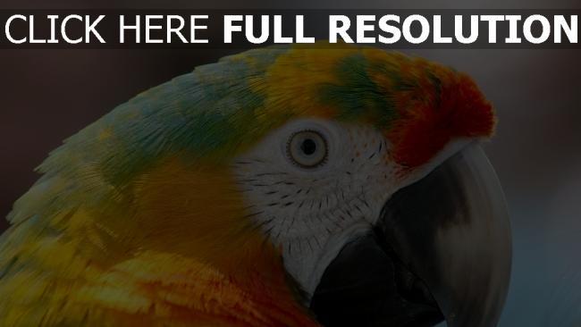 hd hintergrundbilder papagei schnabel blick federn farbe bunt