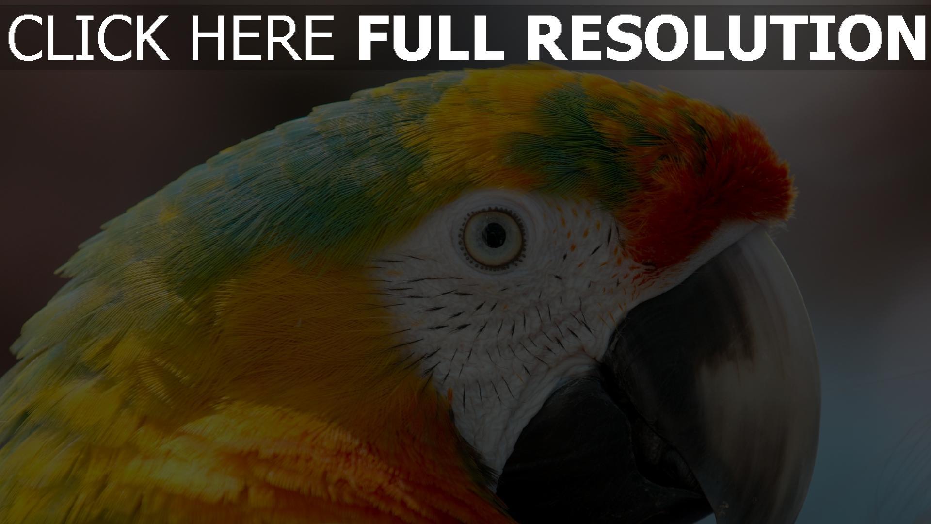 hd hintergrundbilder papagei schnabel blick federn farbe bunt 1920x1080