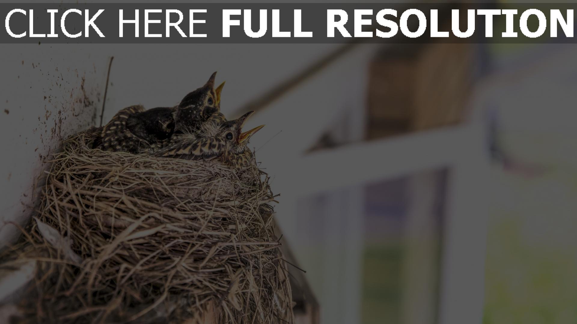 hd hintergrundbilder vögel küken nest schnäbel 1920x1080