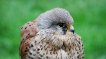 vogel federn schnabel fleckig habicht