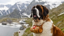 st. bernard hund rettung sitzend berge alpen