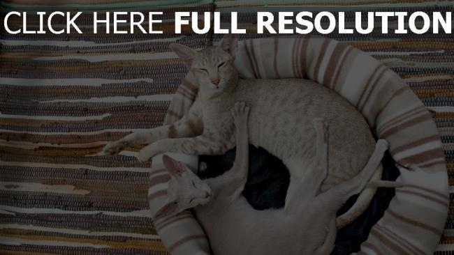 hd hintergrundbilder katzen paar liegen schielen matten