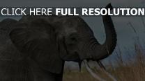 stamm elefant ohren grau gras himmel