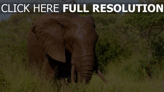 hd hintergrundbilder elefant schlamm wasser bäume gras