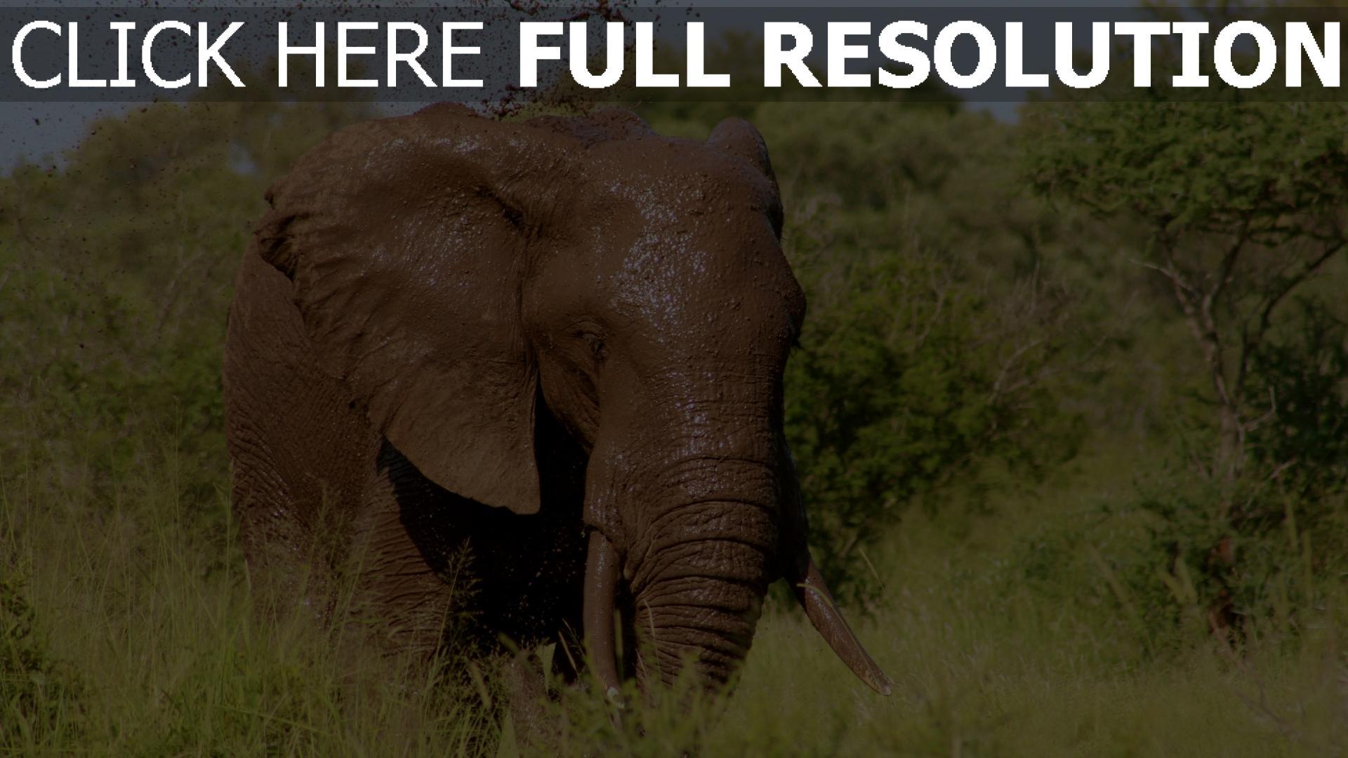 hd hintergrundbilder elefant schlamm wasser bäume gras 1920x1080