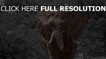 elefant stamm stosszahn spaziergang bäume