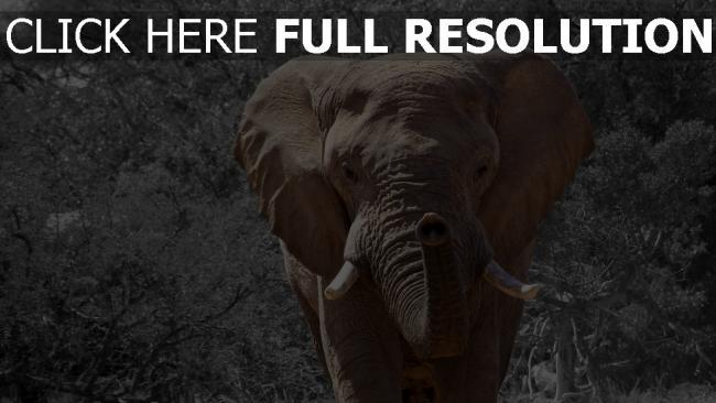 hd hintergrundbilder elefant stamm stosszahn spaziergang bäume