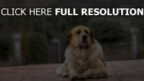 schäfer hund pelz liegend wartet