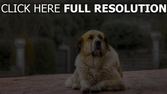hd hintergrundbilder schäfer hund pelz liegend wartet