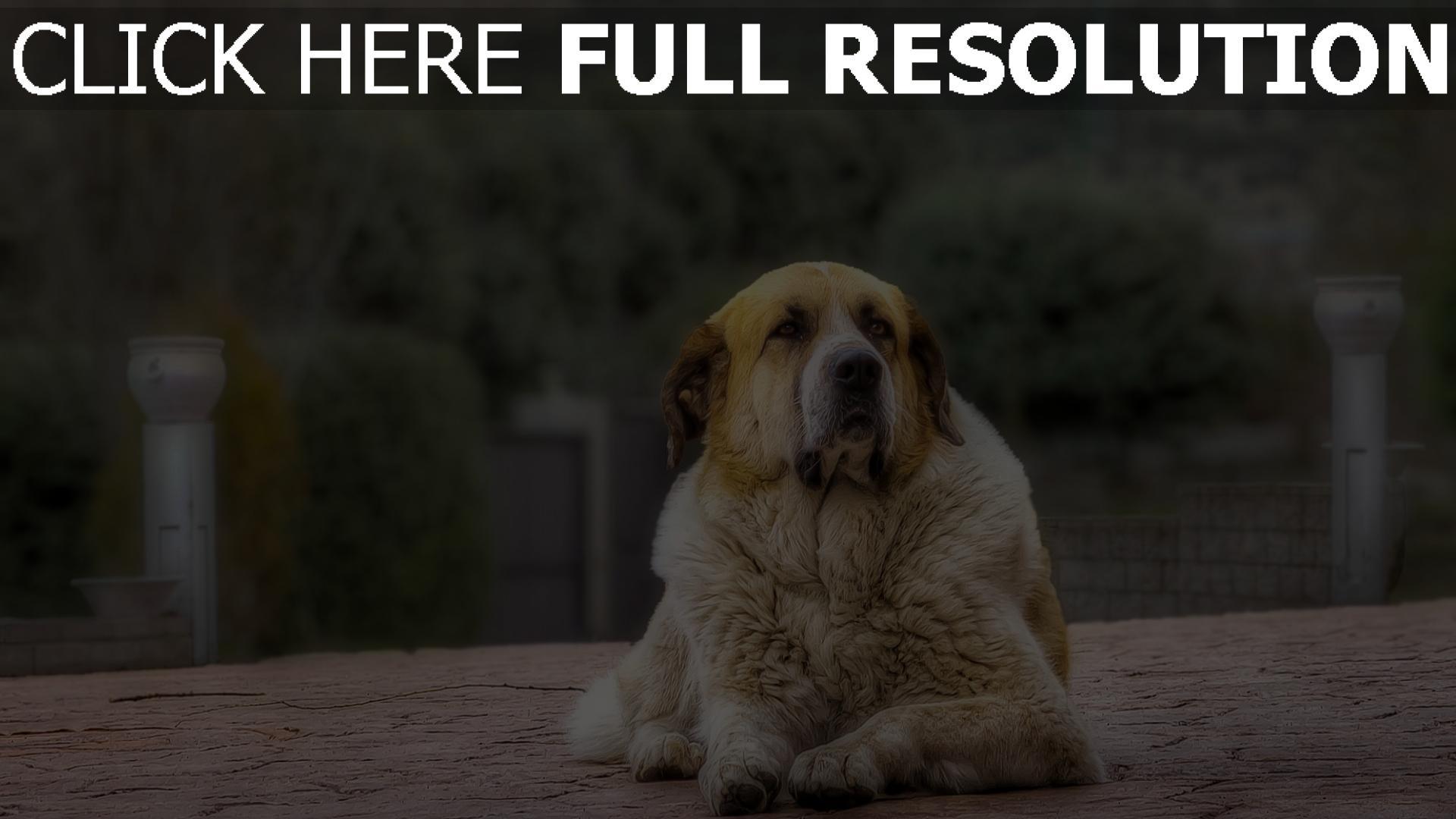 hd hintergrundbilder schäfer hund pelz liegend wartet 1920x1080