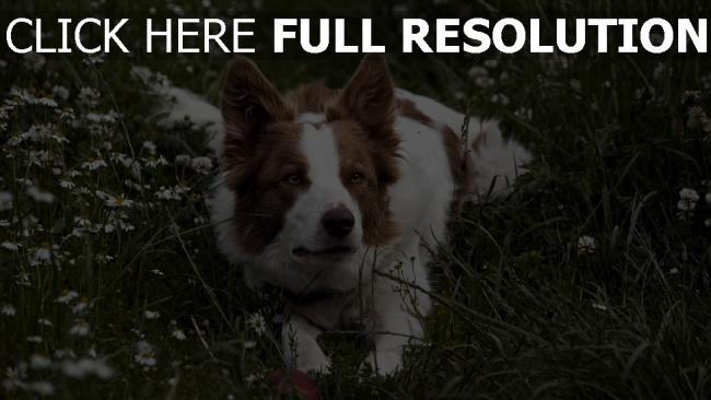 hd hintergrundbilder hund gras warten augen liegen