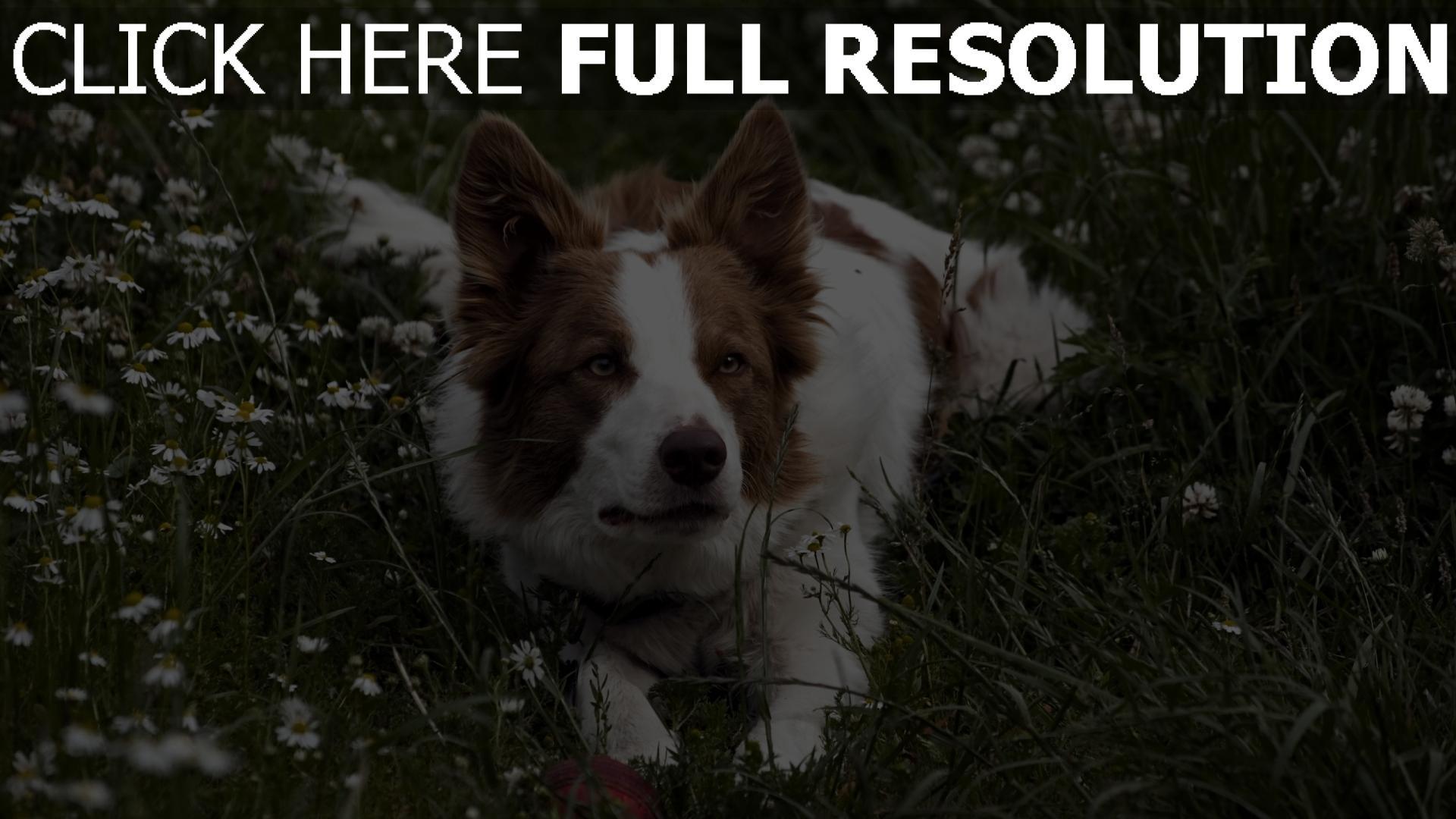 hd hintergrundbilder hund gras warten augen liegen 1920x1080