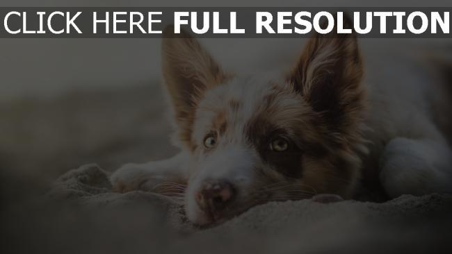 hd hintergrundbilder schnauze ohren blick hund liegen
