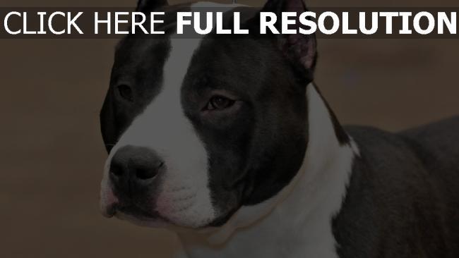 hd hintergrundbilder hund schnauze augen staffordshire terrier