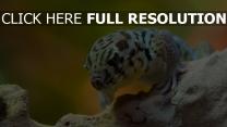 gecko eidechse steine reptil schuppe