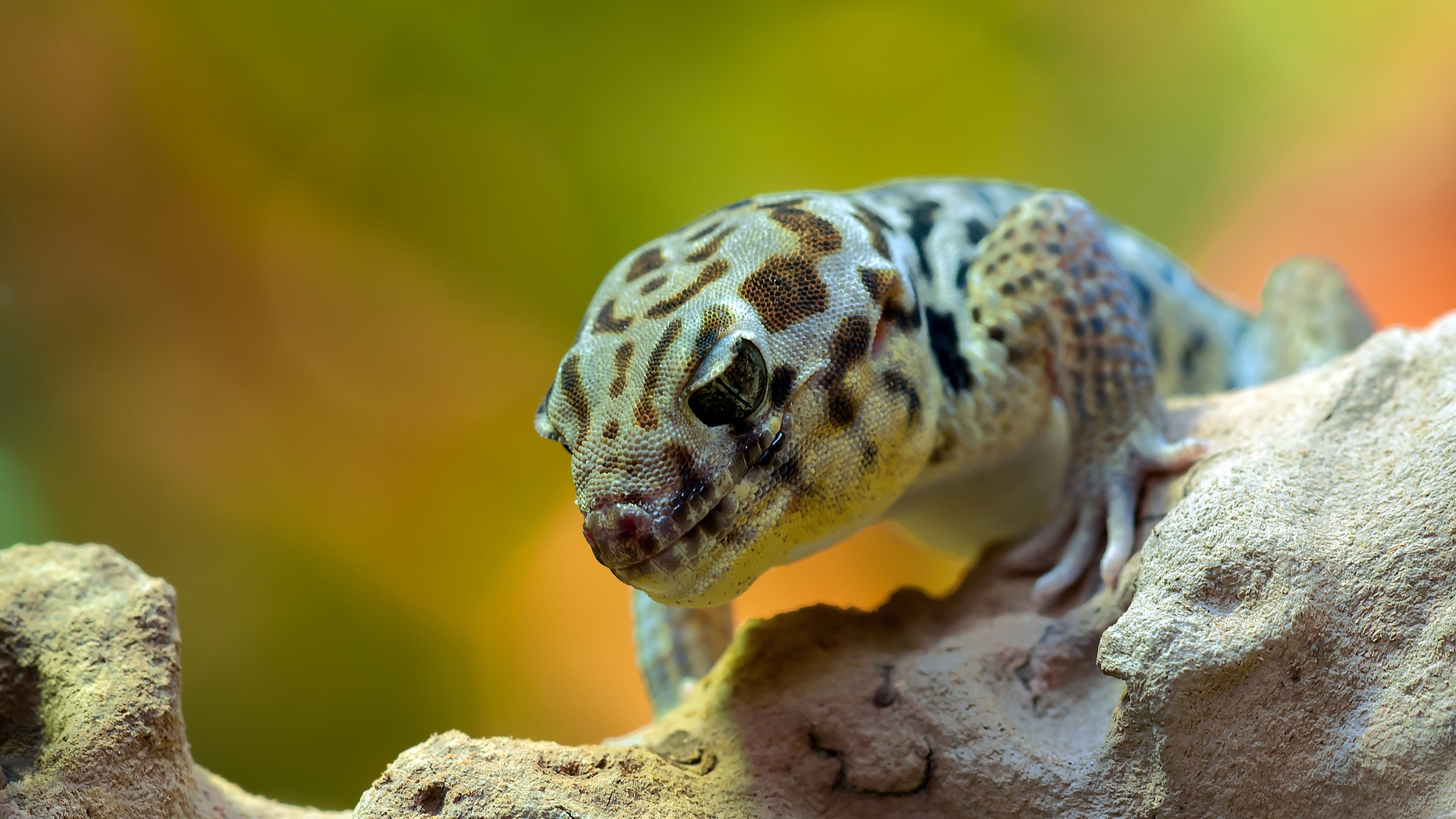 hd hintergrundbilder gecko eidechse steine reptil schuppe 1920x1080