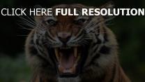 knurren schnauze raubtier tiger zähne