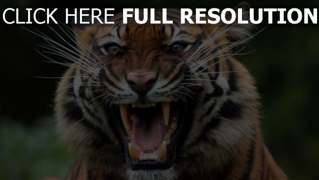 hd hintergrundbilder knurren schnauze raubtier tiger zähne