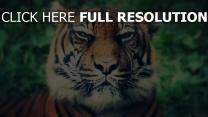 tiger schnauze schnurrhaare nase augen schielen