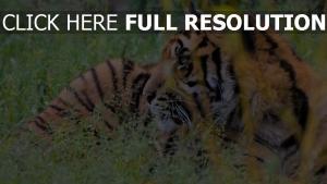 tiger gras schnauze augen räuber