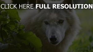 wolf weiß haare schnauze augen