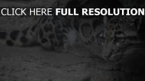 flecken wolle farbe schnurrbart schnauze jaguar