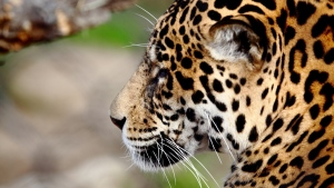 jaguar schnauze schnurrhaare flecken fellfarber