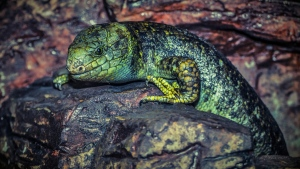 eidechse reptil shuppe steine