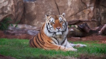 liegend raub sibirischer tiger