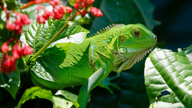 hd hintergrundbilder reptil flowerleaf eidechse leguan
