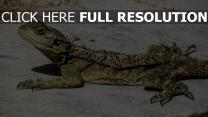 reptil zypern eidechse